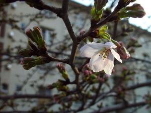 今年初めての桜。
